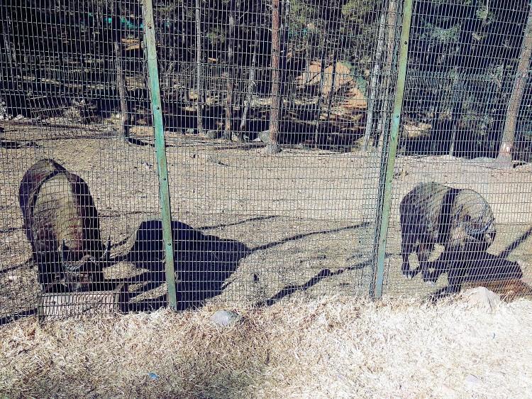 takin, national animal of bhutan, cow, goat, interesting