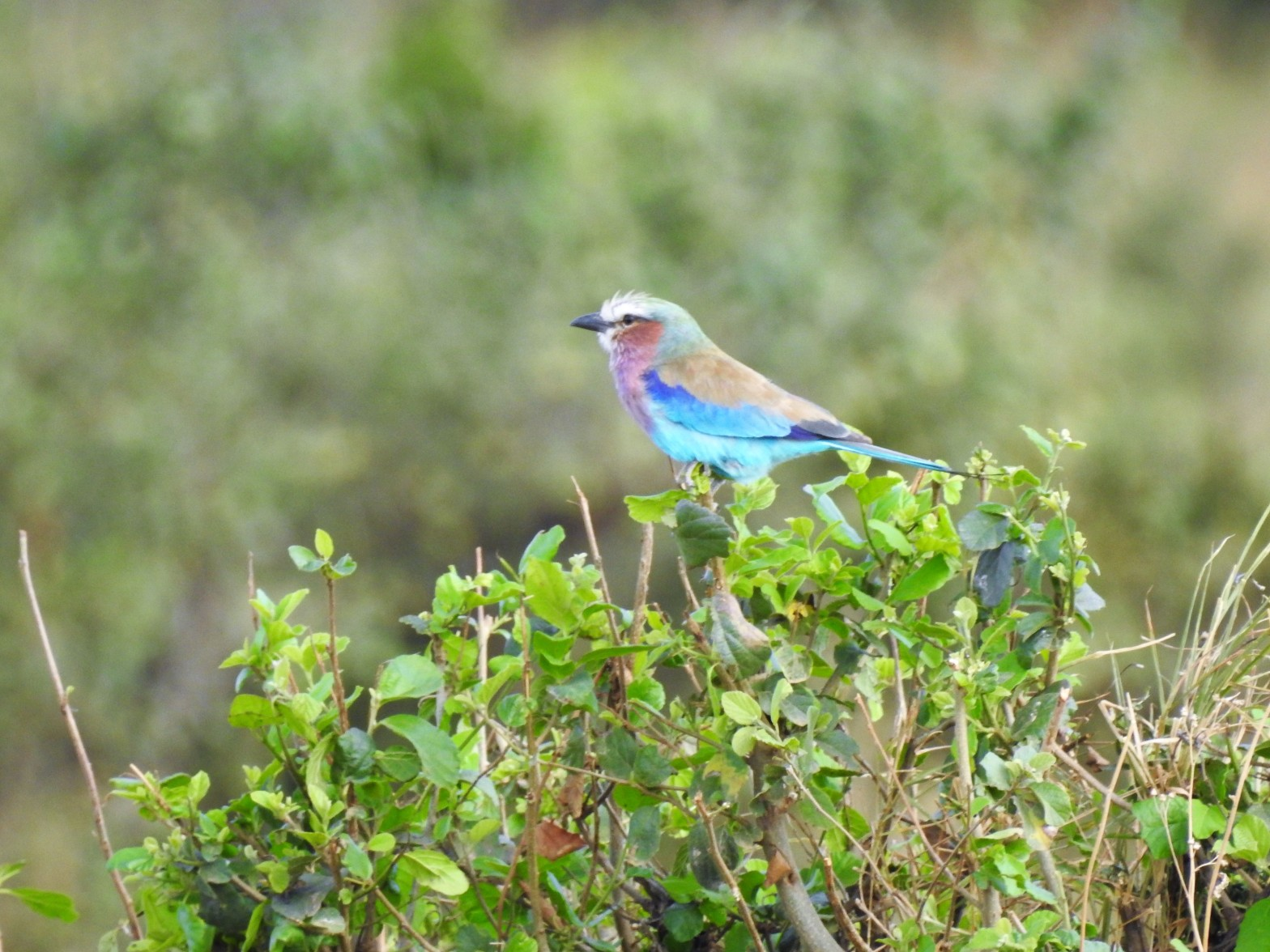 sunset, bird, lilac breasted roller