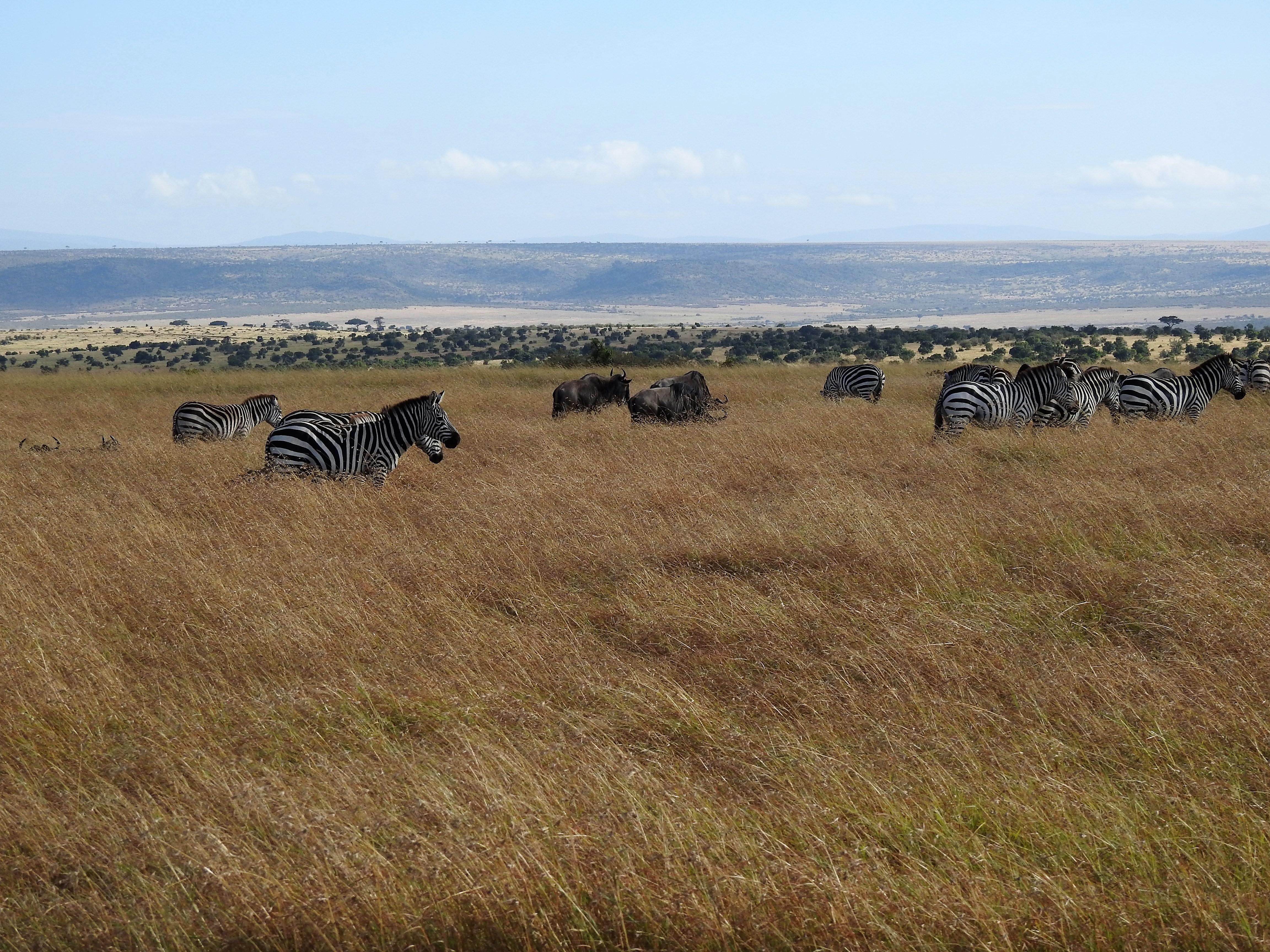 migration, wildebeest, zebra, tanzania, kenya