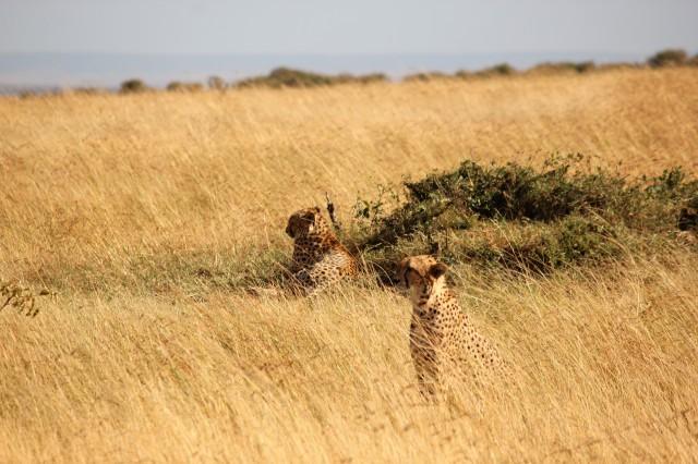 cheetah, grassland