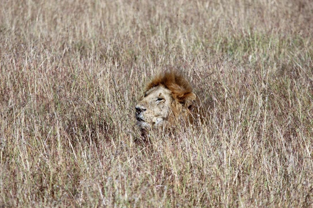 lion, lioness, grassland, camouflage