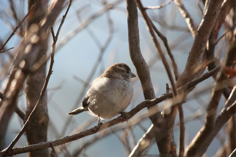 Pangot, bird