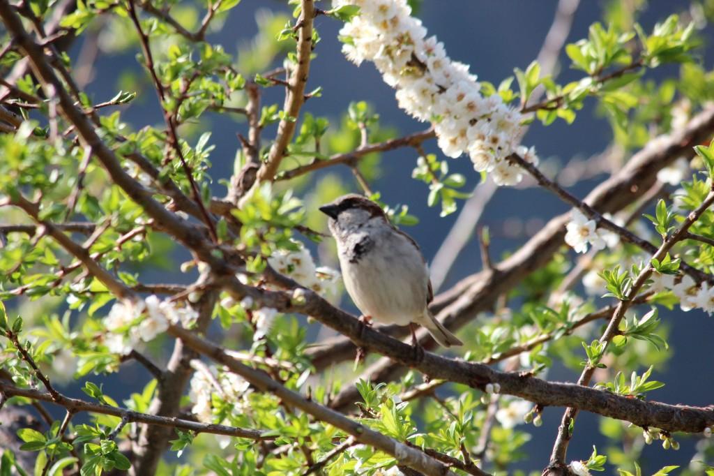 sparrow, city, village