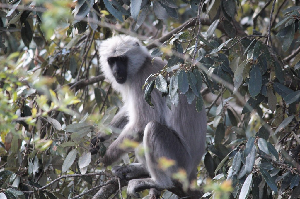 gray langur, color, childhood